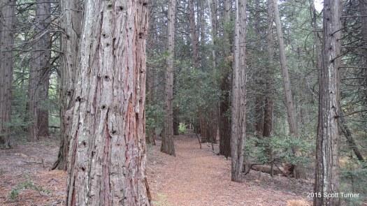 Incense Cedars